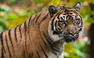 Bilder Tiger Kopf Schnauze Schnurrhaare Vibrisse Blick