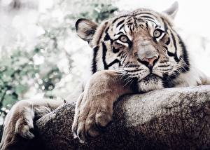 Hintergrundbilder Tiger Pfote Blick Schnauze Tiere