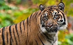 Hintergrundbilder Tiger Schnauze Schnurrhaare Vibrisse Blick ein Tier
