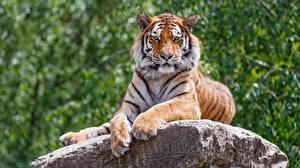 Hintergrundbilder Tiger Steine Pfote Blick