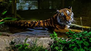 Wallpapers Tiger Water