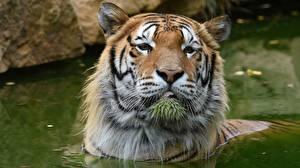 Fotos Tiger Wasser Kopf Starren Schnauze