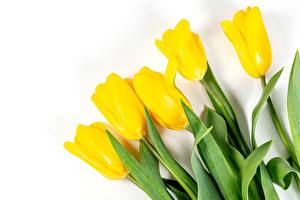 Photo Tulip White background Yellow flower