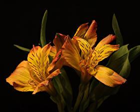 Fotos Alstroemeria Hautnah Schwarzer Hintergrund Drei 3 Orange