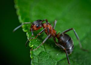 Pictures Ants Insects Closeup Macro photography Animals