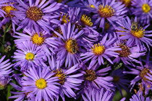 Images Asters Many Bees Violet flower