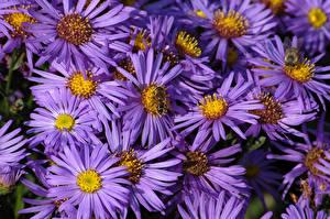 Обои Астры Много Пчелы Фиолетовый цветок
