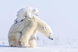 Hintergrundbilder Ein Bär Eisbär Jungtiere