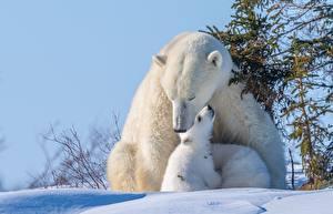 Fotos Bären Eisbär Babys Schnee Niedlich Tiere