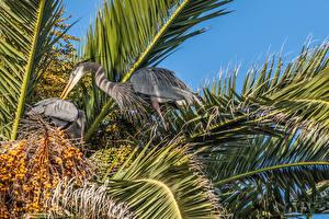 Hintergrundbilder Vögel Reiher Ast Great Blue Herons