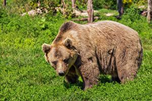 Pictures Bear Grizzly Grass animal