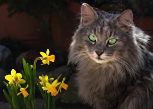 Fotos Hauskatze Narzissen Schnauze ein Tier