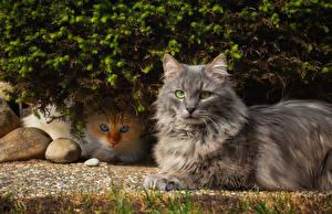 Hintergrundbilder Katzen Zwei Starren