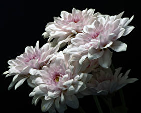 Images Chrysanthemums Closeup Black background White flower