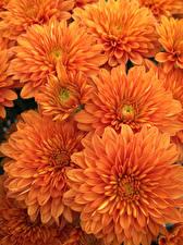Bilder Chrysanthemen Hautnah Orange Blüte