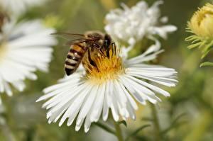 Фото Вблизи Пчелы Насекомое Боке