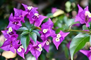 Фотографии Вблизи Бугенвиллея Фиолетовая Листва цветок
