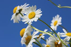 Photo Closeup Camomiles White Blurred background Flowers