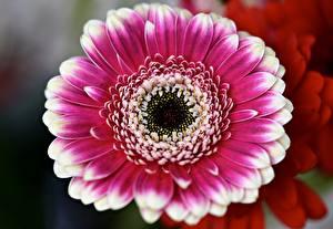 Picture Closeup Gerbera Blurred background