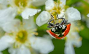 Pictures Closeup Ladybird Insects Blurred background
