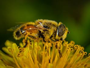 Image Closeup Macro photography Bees Insects Pollen Animals