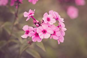 Hintergrundbilder Hautnah Phlox Unscharfer Hintergrund Rosa Farbe