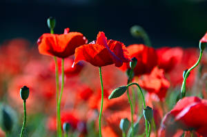 Fotos Großansicht Mohnblumen Bokeh Knospe Rot Blüte