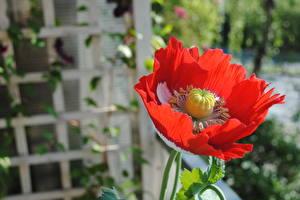 Fotos Hautnah Mohnblumen Unscharfer Hintergrund Rot Blüte