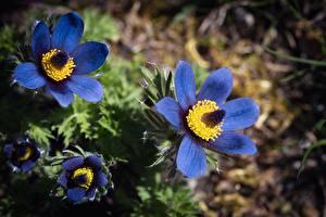 Hintergrundbilder Großansicht Kuhschellen Blau Bokeh Blumen