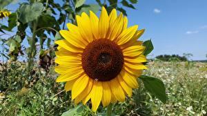 Bilder Nahaufnahme Sonnenblumen Gelb Blumen