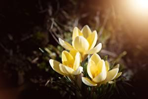 Fotos Krokusse Unscharfer Hintergrund Gelb Blüte