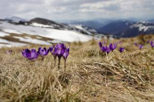 Photo Crocuses Spring Grass Violet Bokeh flower
