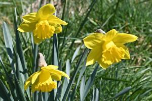 Bilder Narzissen Hautnah Gelb Blumen