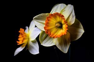 Fotos Narzissen Weiß Schwarzer Hintergrund Blumen