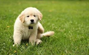 Photo Dogs Golden Retriever Grass Lawn Animals
