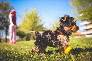 Wallpapers Dog Grass Yorkshire terrier Blurred background animal