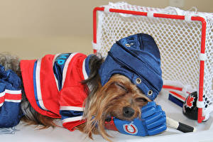 Bilder Hunde Hockey Yorkshire Terrier Uniform Tiere