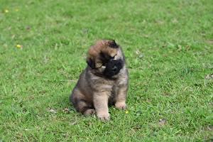 Hintergrundbilder Hund Welpen Sitzend Eurasier Tiere