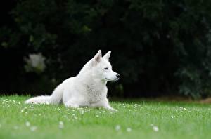Pictures Dog Grass White Lying down Swiss shepherd dog animal