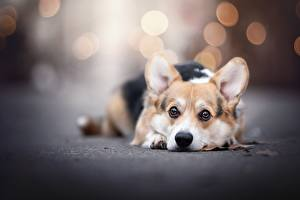 Pictures Dog Welsh Corgi Staring Blurred background Lying down Animals