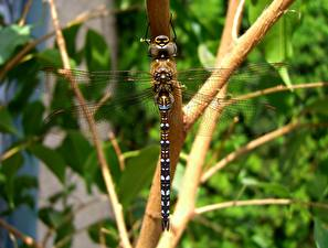 Pictures Odonata Closeup Insects Branches animal