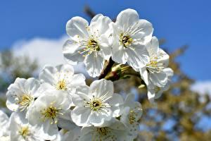 Fotos Blühende Bäume Weiß Japanische Kirschblüte cherry-tree Blüte