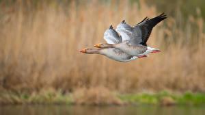 Bilder Gänse Vögel 2 Flug Unscharfer Hintergrund Tiere
