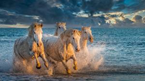 Picture Horses Water Water splash Running Four 4 Animals