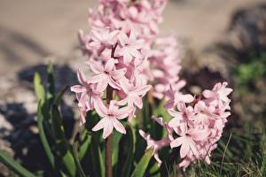 Wallpapers Hyacinths Blurred background Pink color
