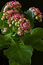 Bilder Kalanchoe Großansicht Schwarzer Hintergrund Knospe Blumen