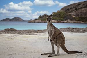 Sfondi desktop Canguro Spiagge Western Australia, Cape Le Grand National Park, Kangaroo Animali