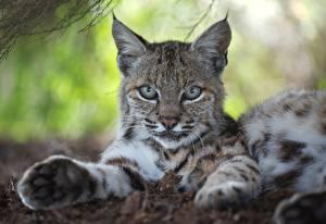 Bilder Luchse Pfote Starren Ruhen Tiere