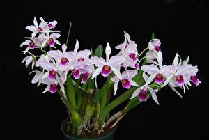 Hintergrundbilder Orchideen Schwarzer Hintergrund Blüte