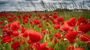 Fotos Mohn Grünland Rot Blumen